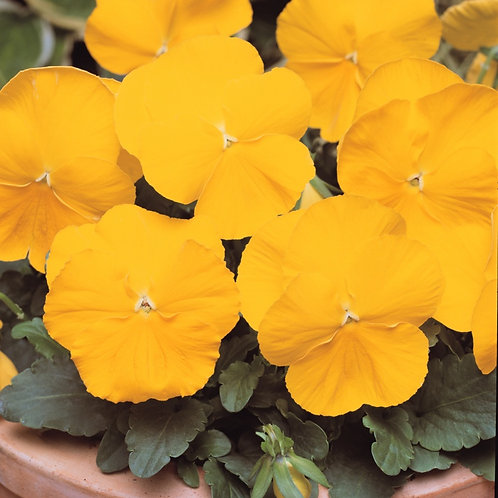 Pansy F1 Golden Yellow