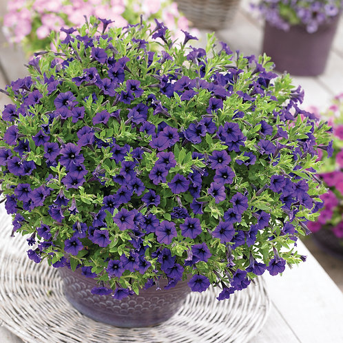 Petunia Compact Trailing Vivini Blue