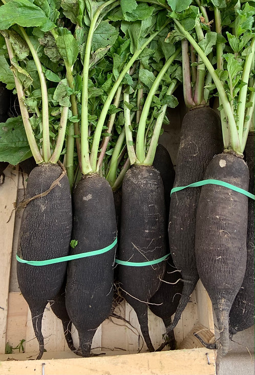 Radis noir (botte)