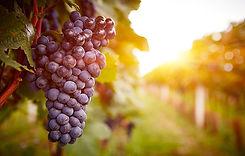 vitigno-nebbiolo.jpg