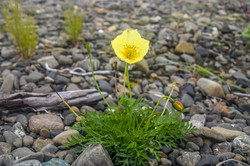 Arctic-Poppy
