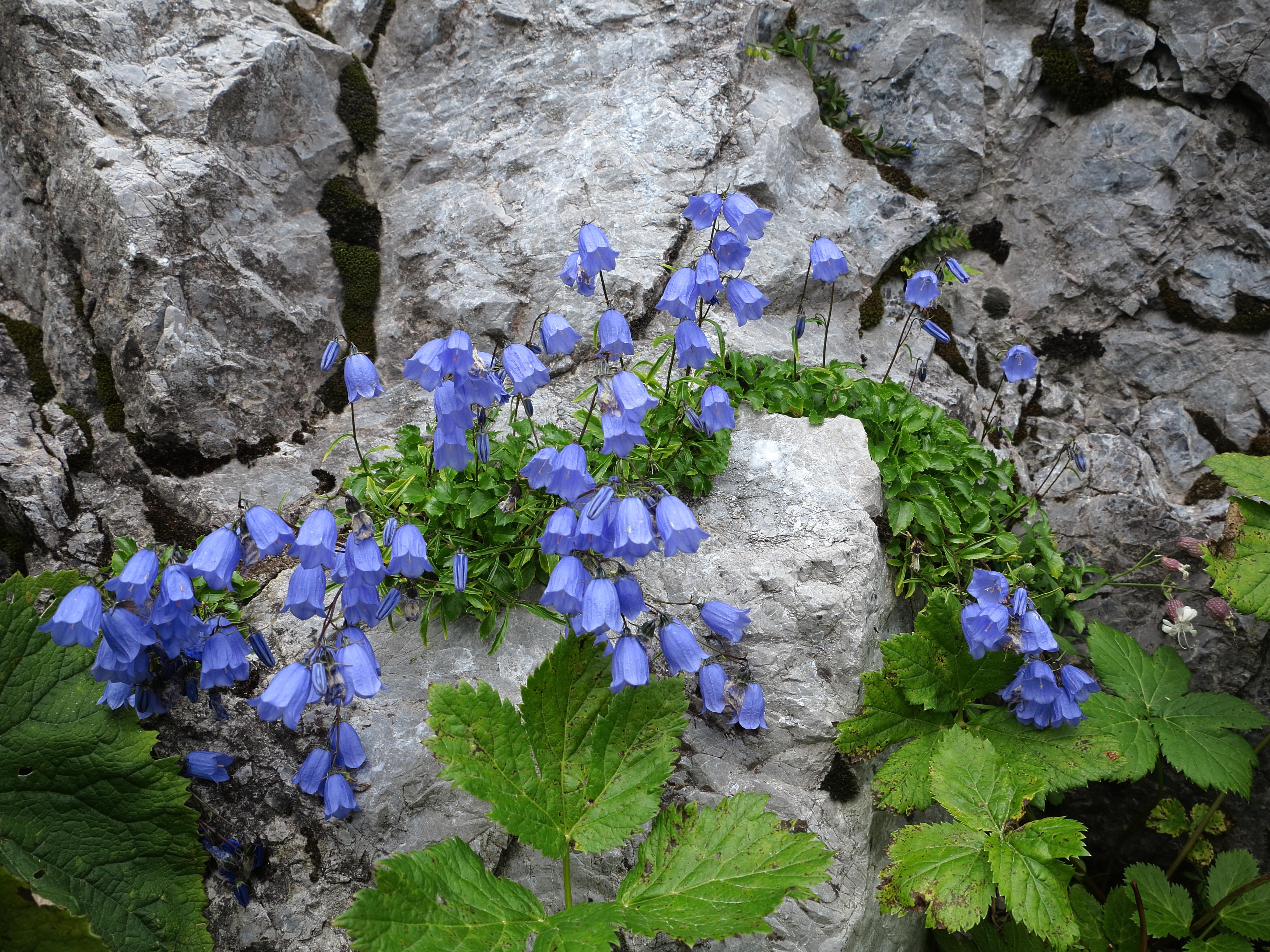 Alpine Harebell on Wall