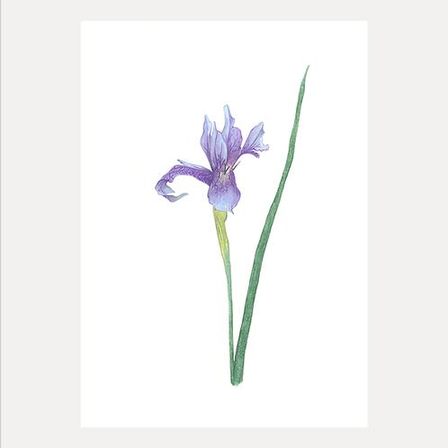 Blue Iris Original