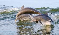 Dolphins Culburra Beach