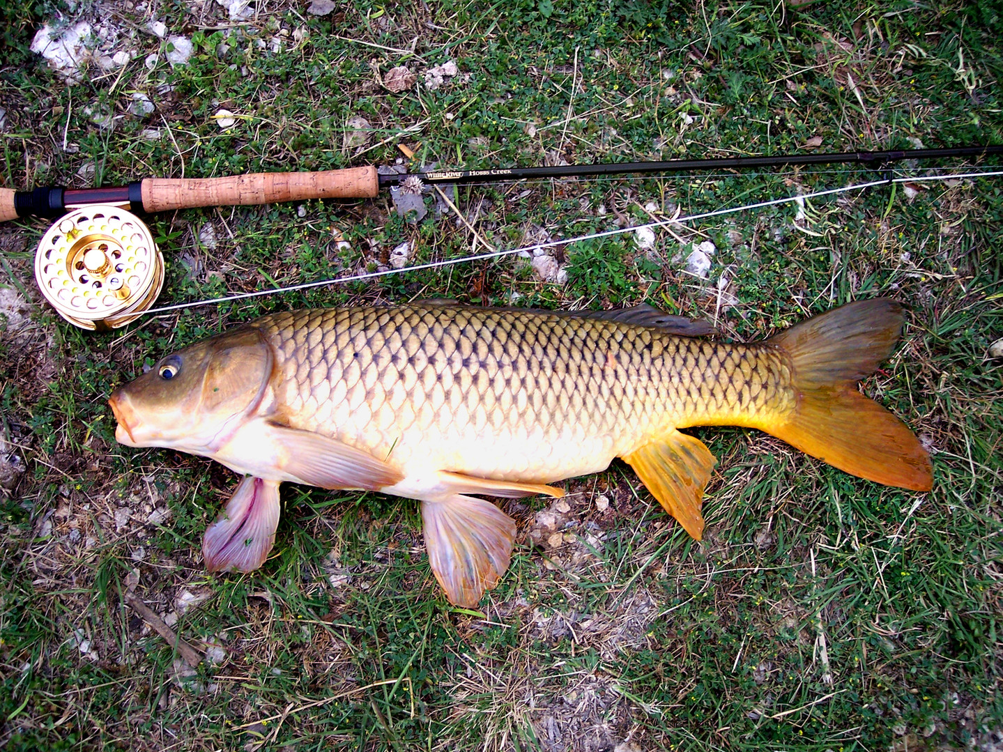 Common Carp on a Fly