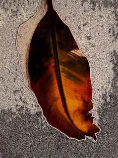 Red Banana Tree Leaf