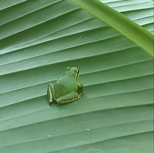 Frog and Platano Leaf