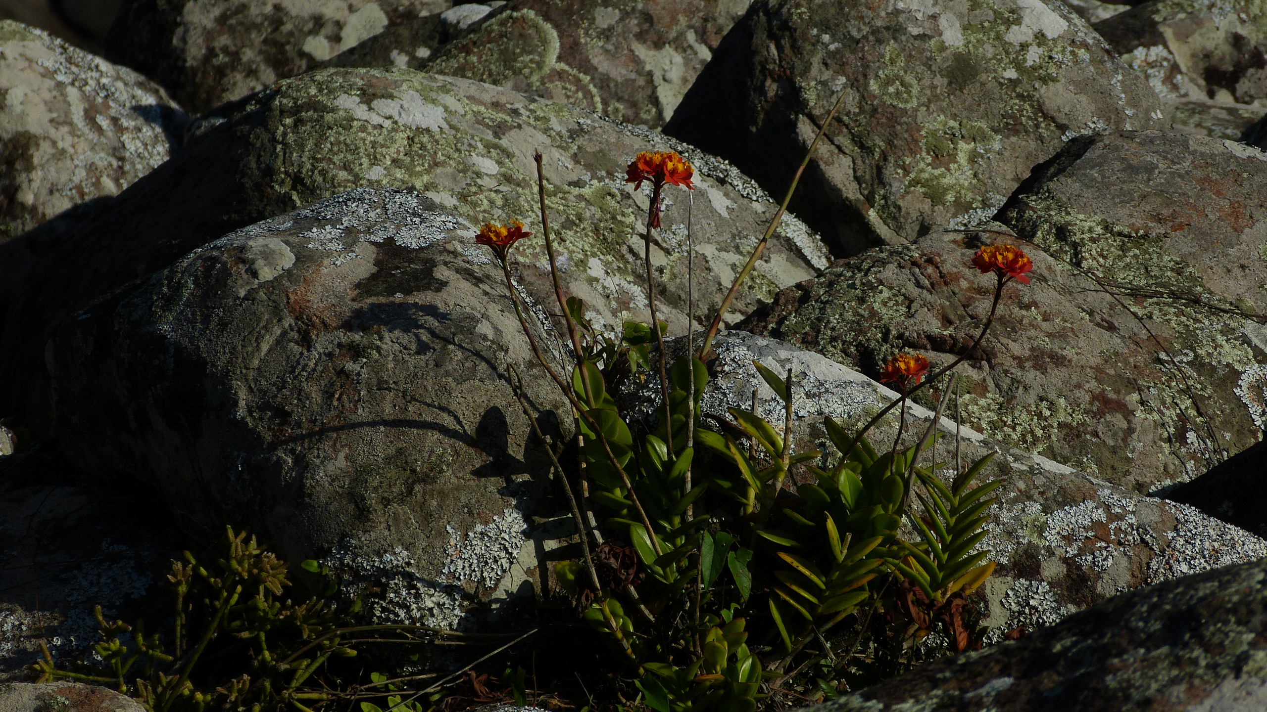 Orquídea da Praia