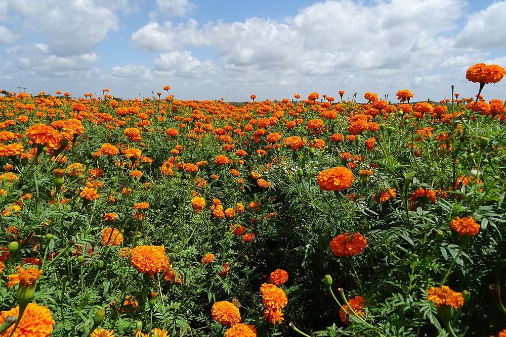 Taget - ótima opção de planta repelente para todos os jardins