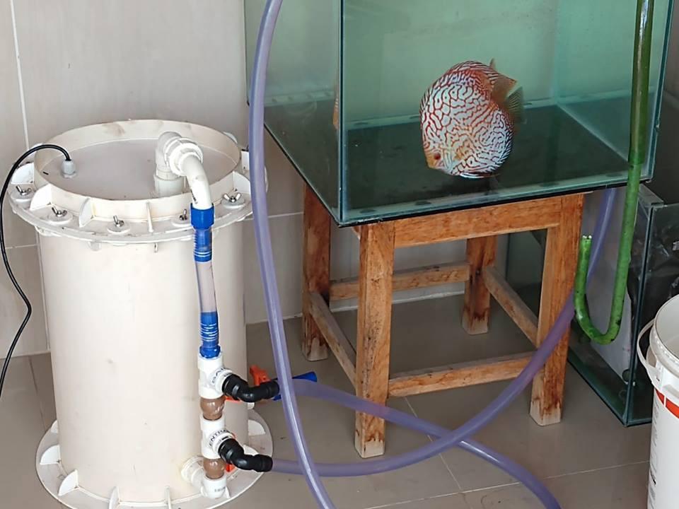 peixe acará disco quarentena aquário