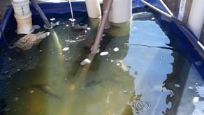 Skimmer de água doce para a criação de tilápias em caixas d'água