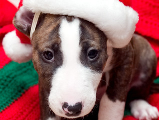 Christmas treats which could make your dog sick