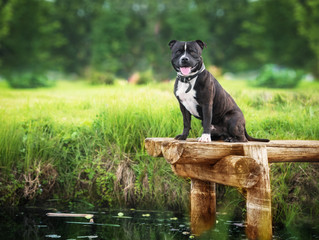 It's only skin deep: Staffies are the most unwanted dog breed, rejected because of unfair reputation