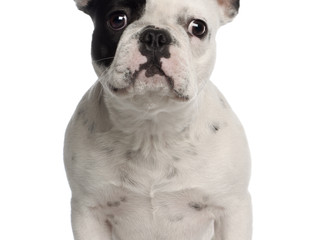 The sad reality behind the over breeding of flat-faced dogs like French Bulldogs