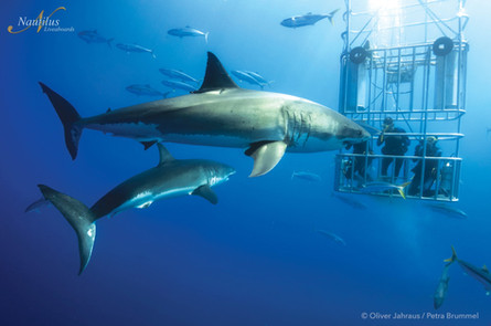 Guadalupe-great-white-sharks_005-min.jpg