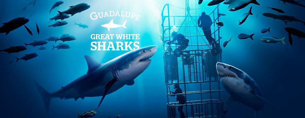 buceo con el gran tiburon blanco Isla de guadalupe viajes a la isla de guadalupe como llegar a la isla de guadalupe