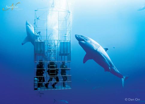 Guadalupe-great-white-sharks_006-min.jpg