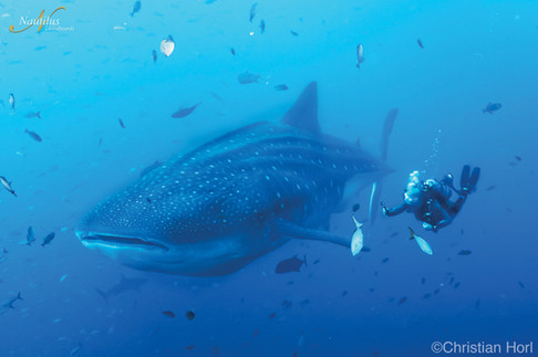 Socorro-whale-shark-001-min.jpg