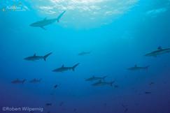 Socorro-schooling-silky-sharks-001-min.j