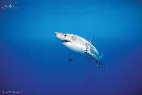 Guadalupe-great-white-sharks_004-min.jpg