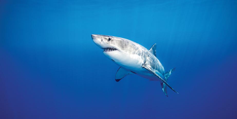 Guadalupe-great-white-sharks_004-min.jpg