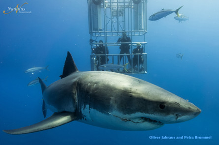 Guadalupe-great-white-sharks_010-min.jpg