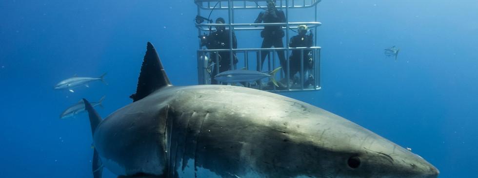 Guadalupe-great-white-sharks_010-min.jpg