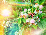 blueberries_edited_edited_edited_edited_