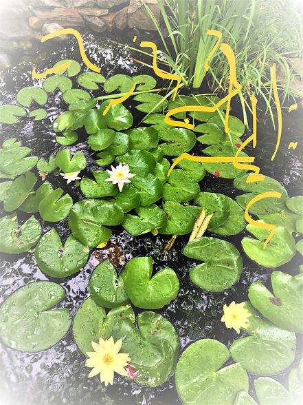water lilies (3)_LI.jpg