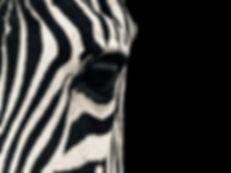 zebra-wallpapers.jpg