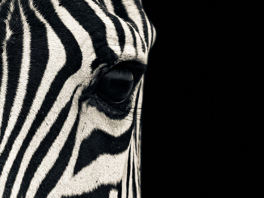 zebra-wallpapers.jpg