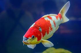 1-Koi Fish 497281273.jpg