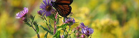 Ecological Landscaping and Restoration Monarch Butterfly