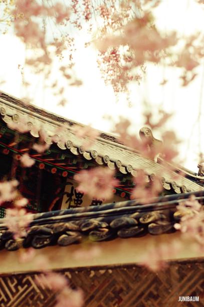 창덕궁의 봄