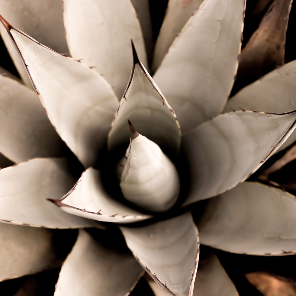 Blue Agave. Arizona fotografiapittsburgh.com