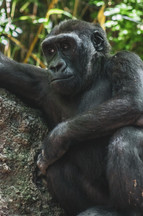 Bronx Zoo Gorilla