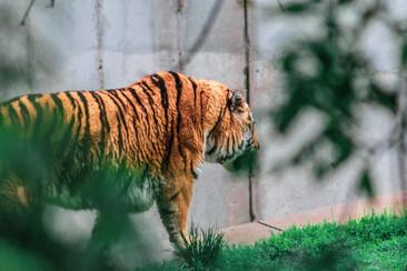 St. Louis Zoo tiger