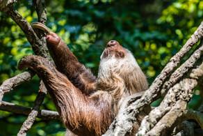 Bronx Zoo Sloth