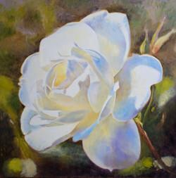 white rose 1