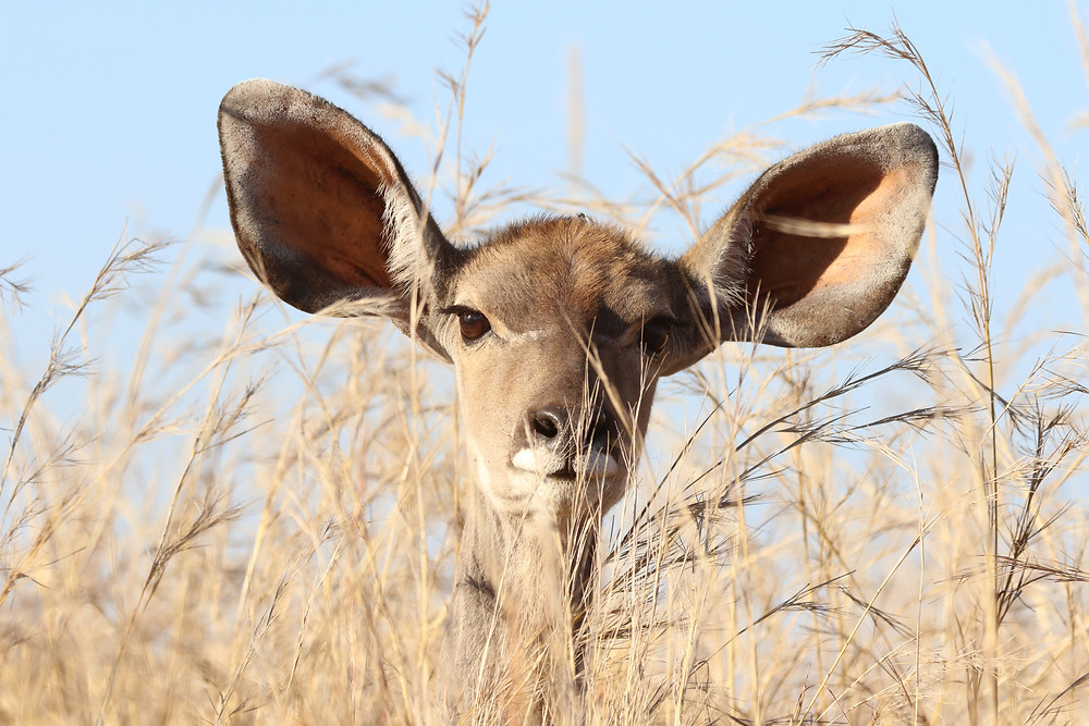 Deer in the field with large ears