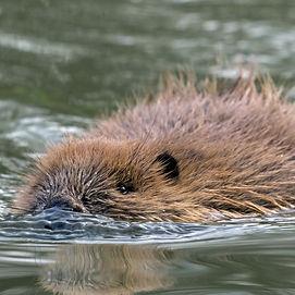 beaver%20swim_edited.jpg