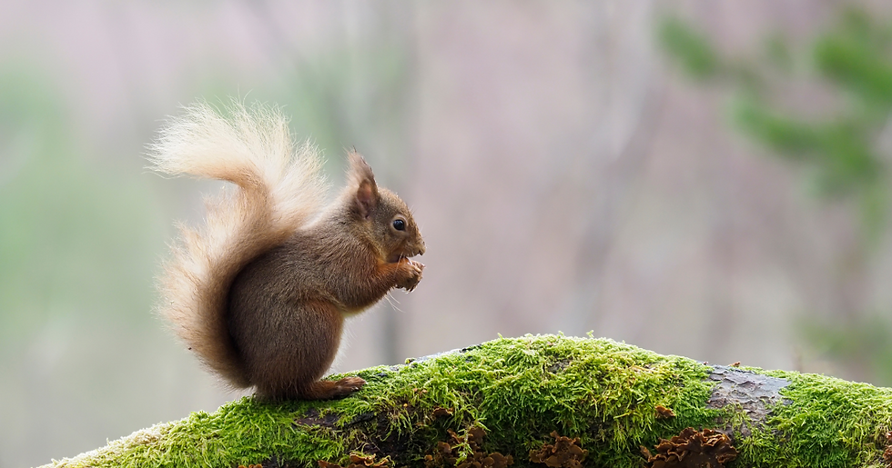 red squirrel on moss.png