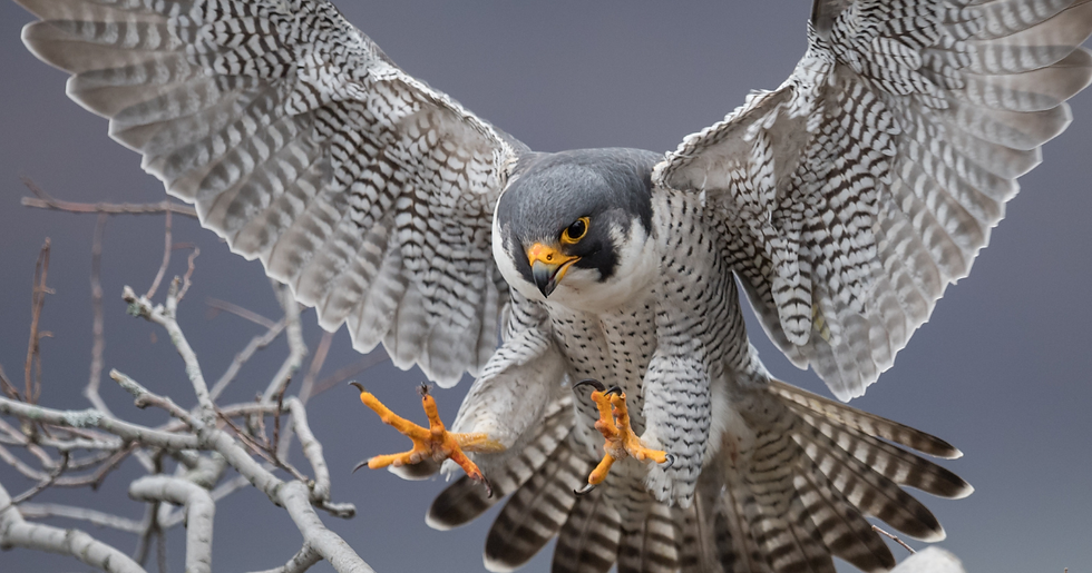 peregrine oustretched.png