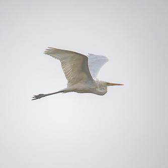 egret fly.png