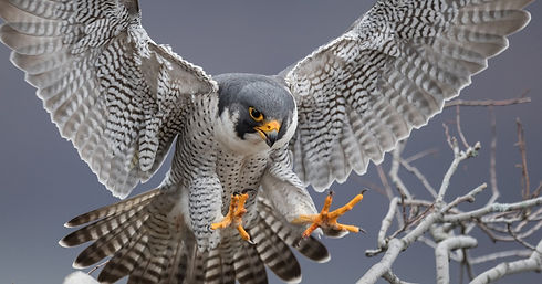peregrine%20oustretched_edited.jpg