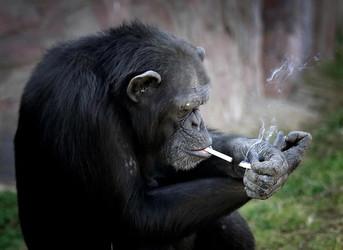 Bellman, röken och entrecôten