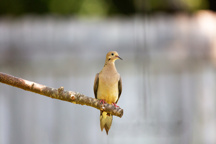 Mourning Dove-4756-Web.jpg