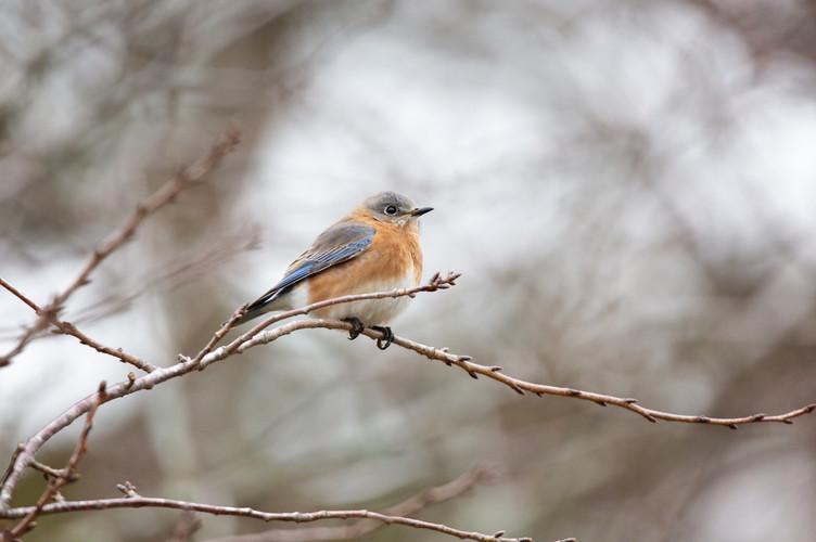 Female Eastern Bluebird-Web.jpg
