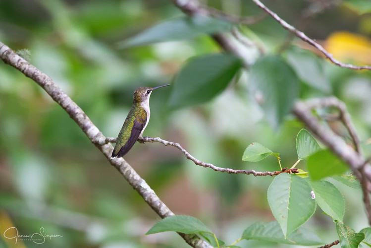 Hummingbird - Female-3424-Web.jpg