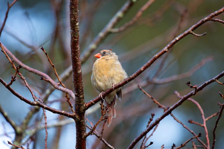 Female Cardinal Fluffy-9065-web.jpg